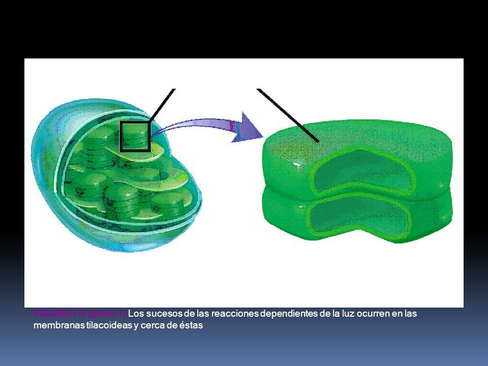 tilacoide cloroplasto