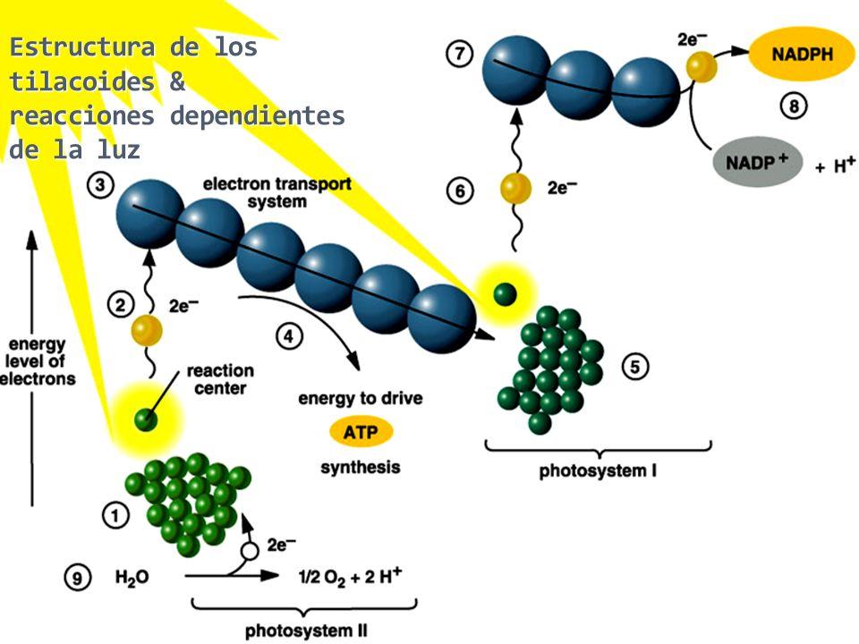 Estructura de los tilacoides & reacciones dependientes de la luz