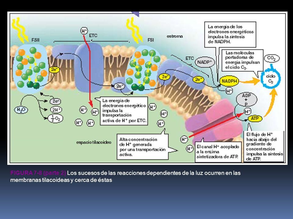 Figura 7-8 (parte 2) Los sucesos de las reacciones dependientes de la luz ocurren en las membranas tilacoideas y cerca de éstas