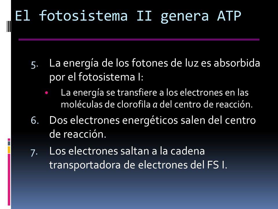 El fotosistema II genera ATP