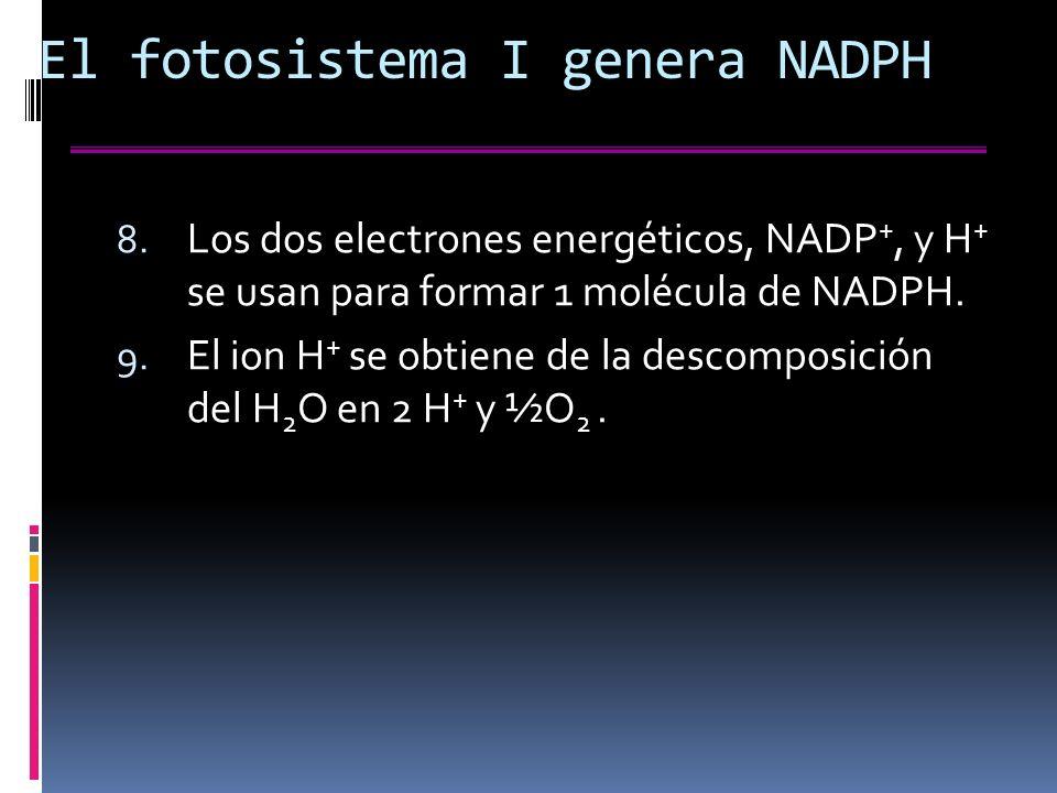 El fotosistema I genera NADPH