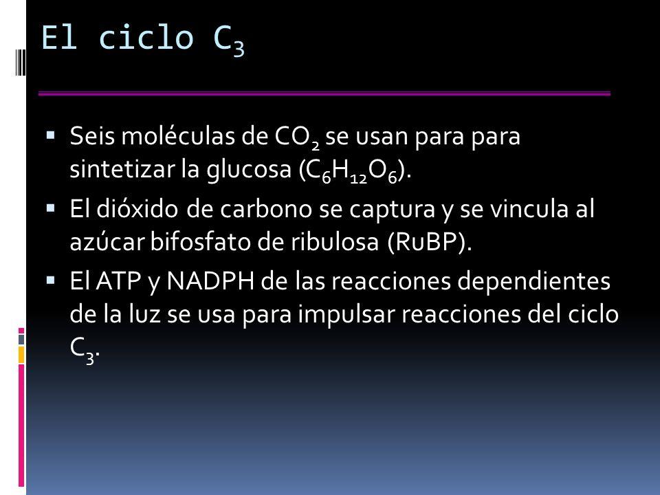 El ciclo C3 Seis moléculas de CO2 se usan para para sintetizar la glucosa (C6H12O6).