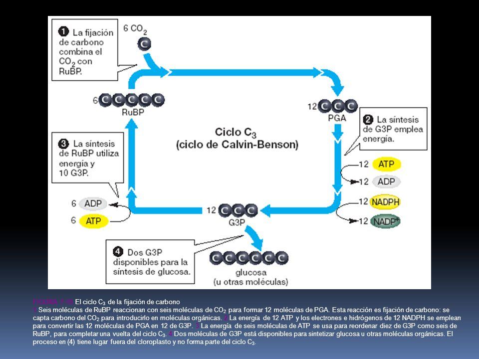 Figura 7-10 El ciclo C3 de la fijación de carbono