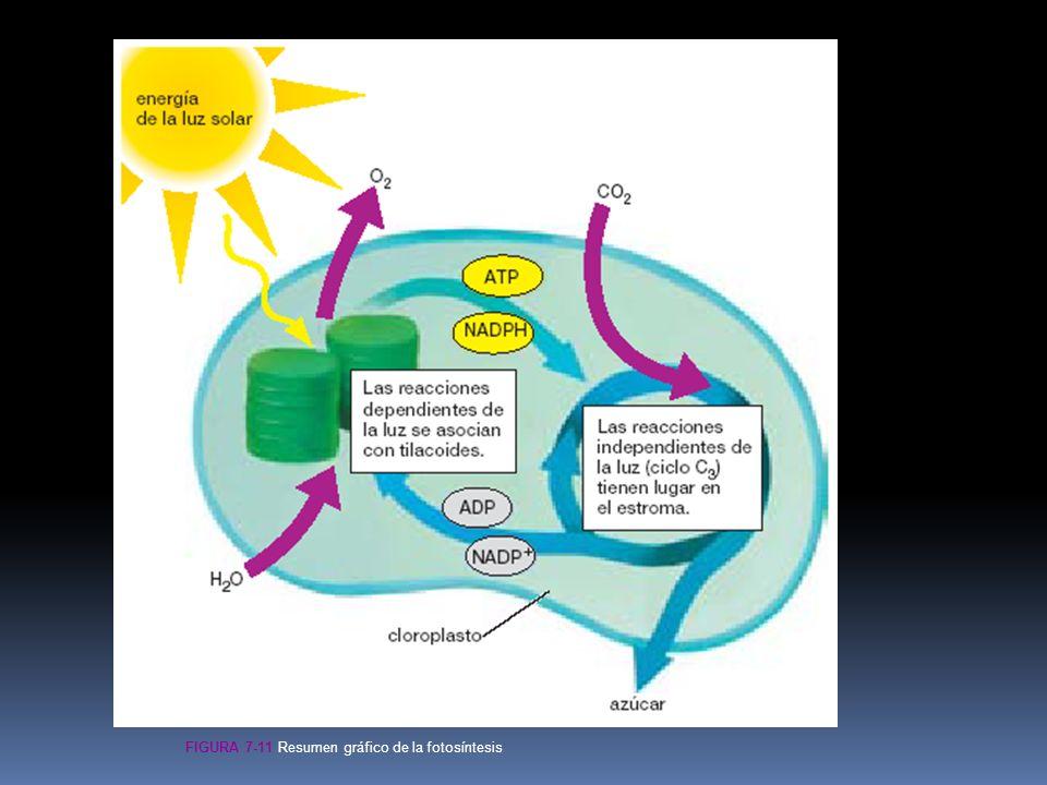 Figura 7-11 Resumen gráfico de la fotosíntesis
