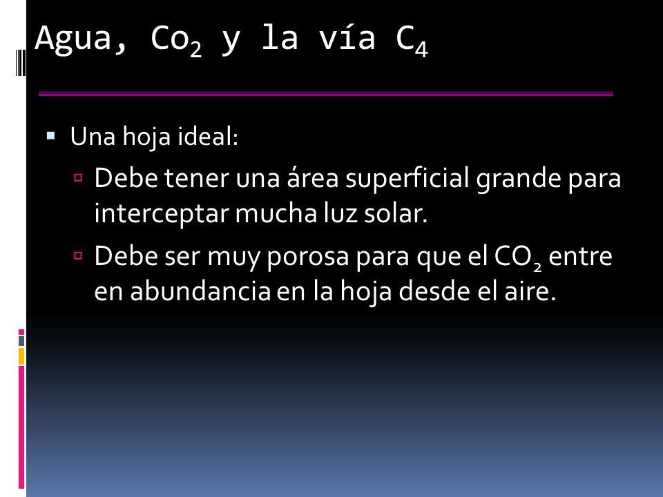 Agua, Co2 y la vía C4 Una hoja ideal: Debe tener una área superficial grande para interceptar mucha luz solar.