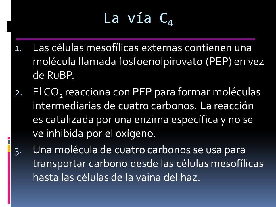 La vía C4 Las células mesofílicas externas contienen una molécula llamada fosfoenolpiruvato (PEP) en vez de RuBP.