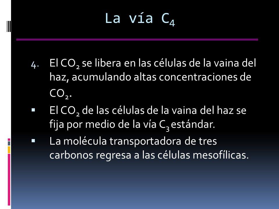 La vía C4 El CO2 se libera en las células de la vaina del haz, acumulando altas concentraciones de CO2.