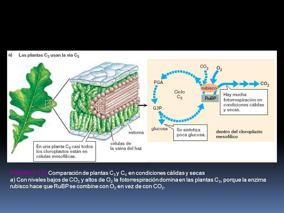 Figura 7-12a Comparación de plantas C3 y C4 en condiciones cálidas y secas