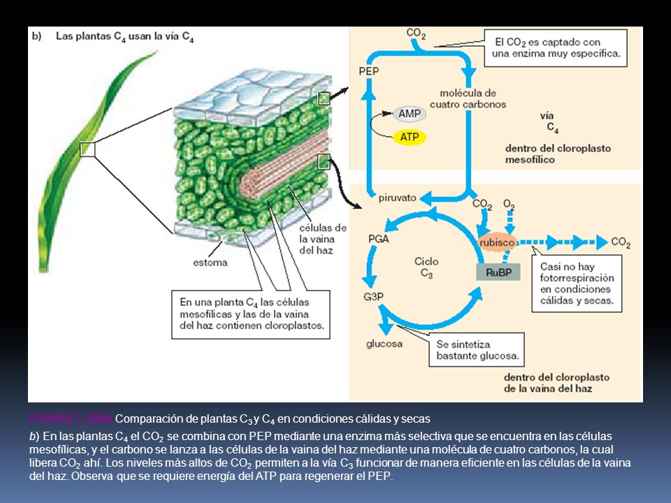 Figura 7-12bb Comparación de plantas C3 y C4 en condiciones cálidas y secas