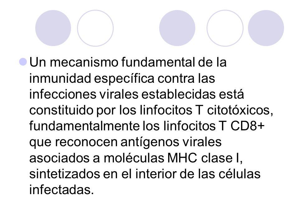 Un mecanismo fundamental de la inmunidad específica contra las infecciones virales establecidas está constituido por los linfocitos T citotóxicos, fundamentalmente los linfocitos T CD8+ que reconocen antígenos virales asociados a moléculas MHC clase I, sintetizados en el interior de las células infectadas.