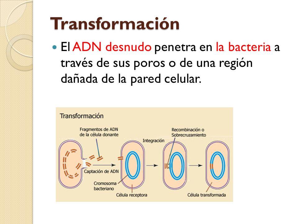 Transformación El ADN desnudo penetra en la bacteria a través de sus poros o de una región dañada de la pared celular.
