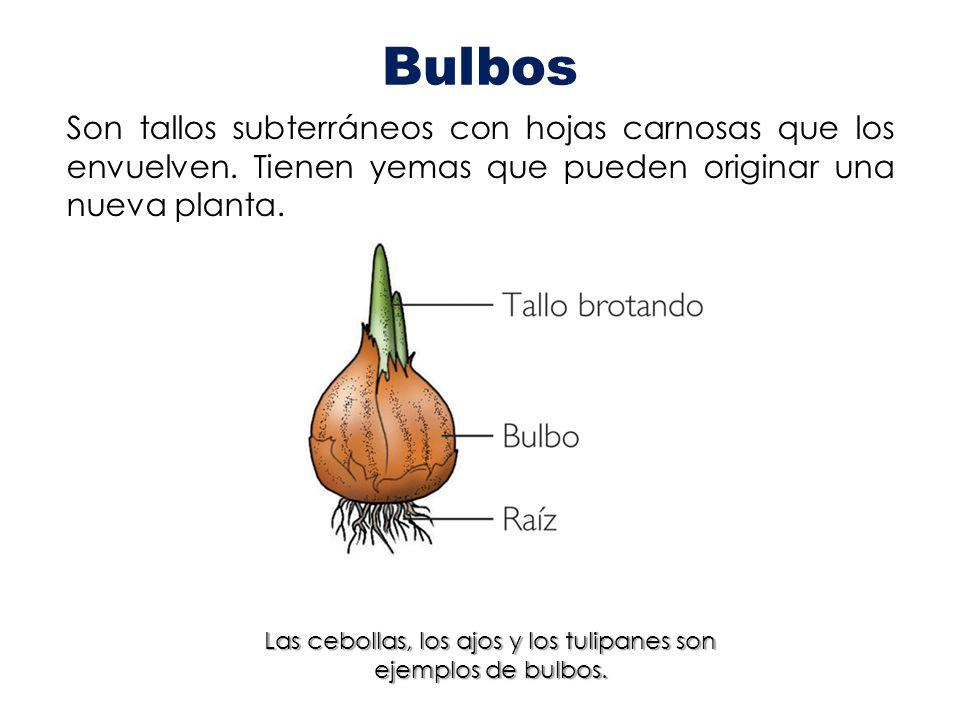 Las cebollas, los ajos y los tulipanes son ejemplos de bulbos.