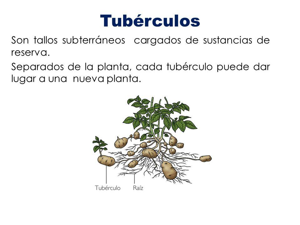 Tubérculos Son tallos subterráneos cargados de sustancias de reserva.