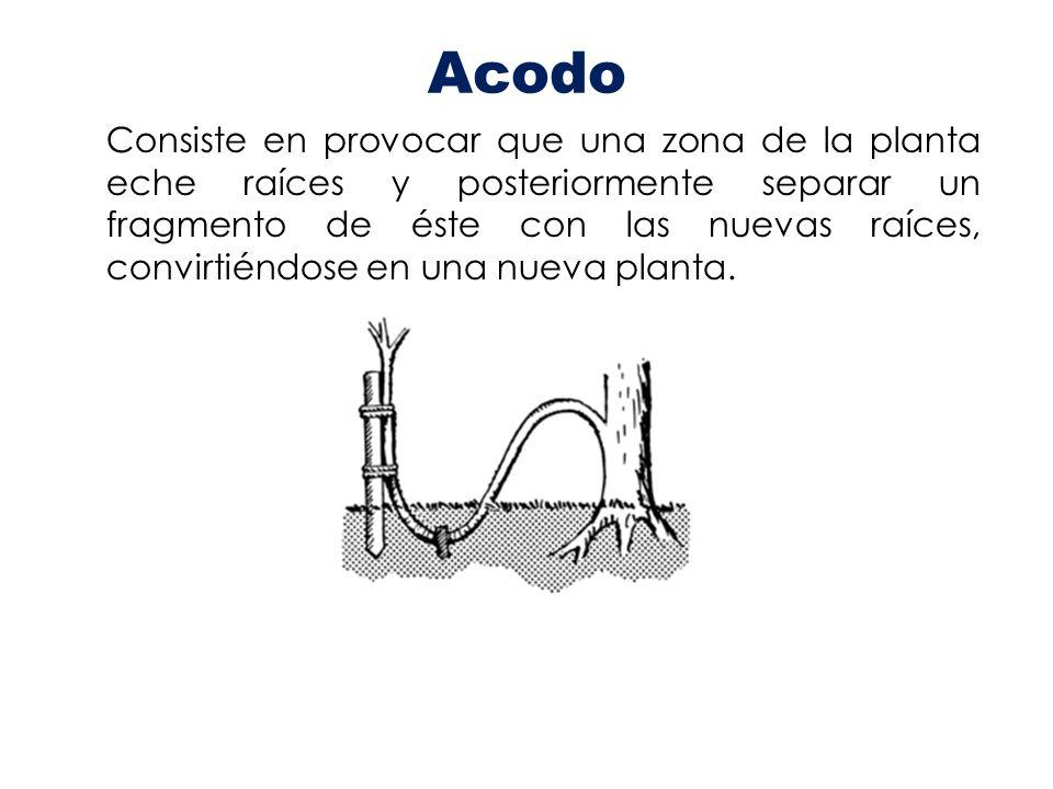 Acodo