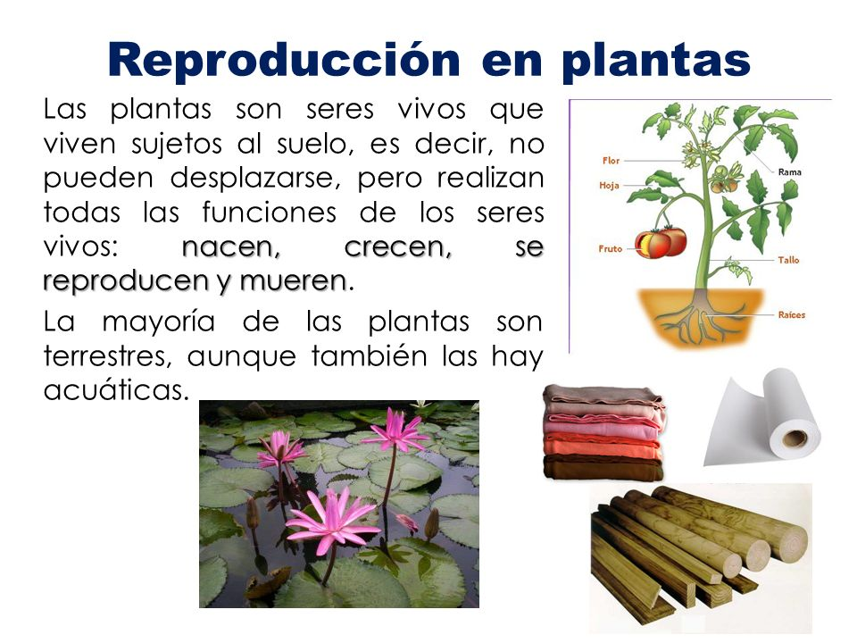 Reproducci n en plantas ppt video online descargar for Las raices chinas se cocinan