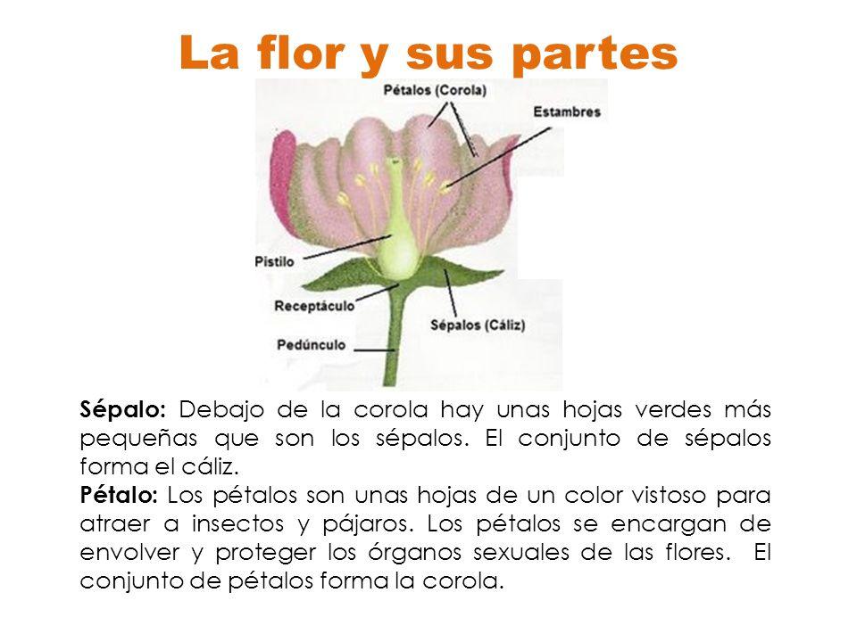 La flor y sus partes Sépalo: Debajo de la corola hay unas hojas verdes más pequeñas que son los sépalos. El conjunto de sépalos forma el cáliz.