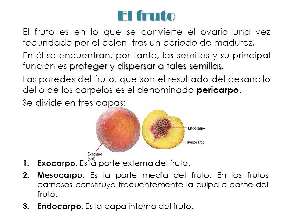 El fruto El fruto es en lo que se convierte el ovario una vez fecundado por el polen, tras un periodo de madurez.