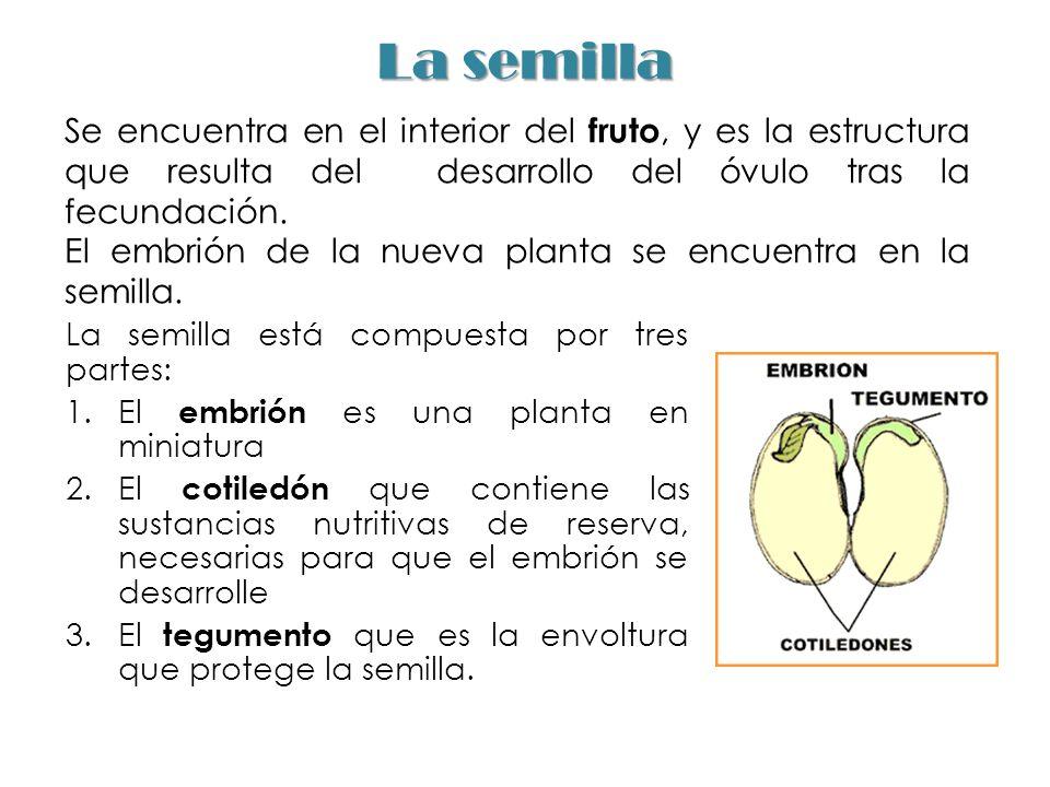 La semilla Se encuentra en el interior del fruto, y es la estructura que resulta del desarrollo del óvulo tras la fecundación.