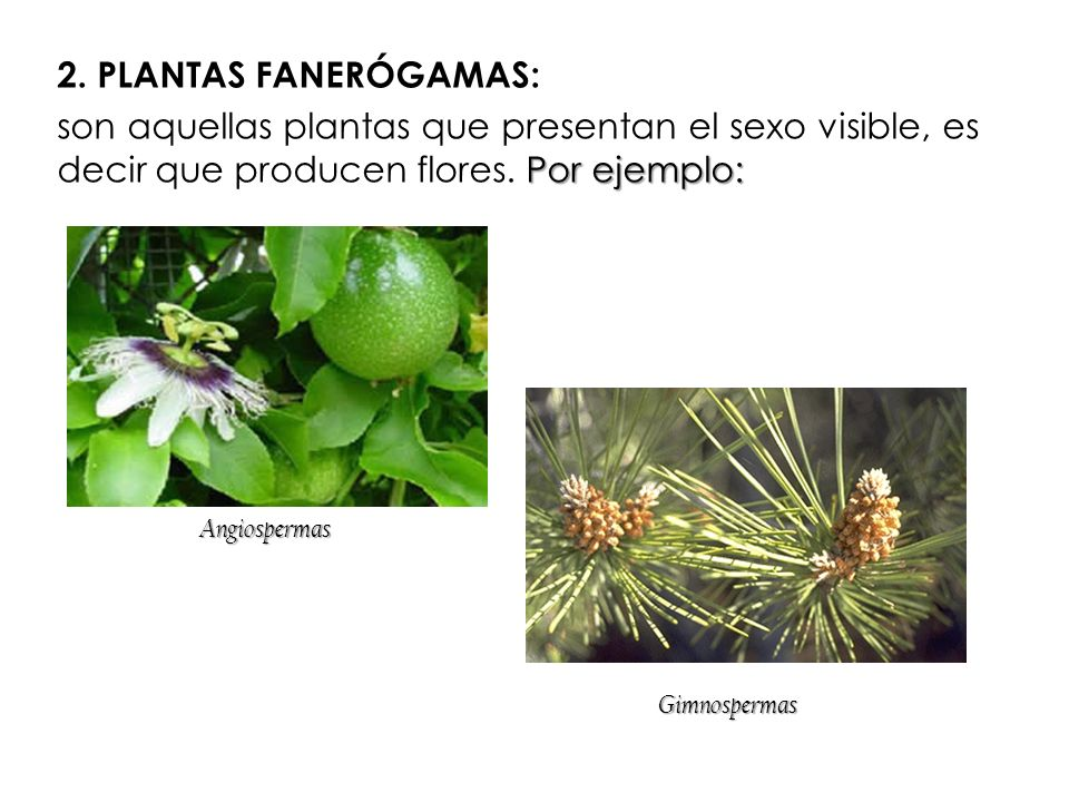2. PLANTAS FANERÓGAMAS: son aquellas plantas que presentan el sexo visible, es decir que producen flores. Por ejemplo: