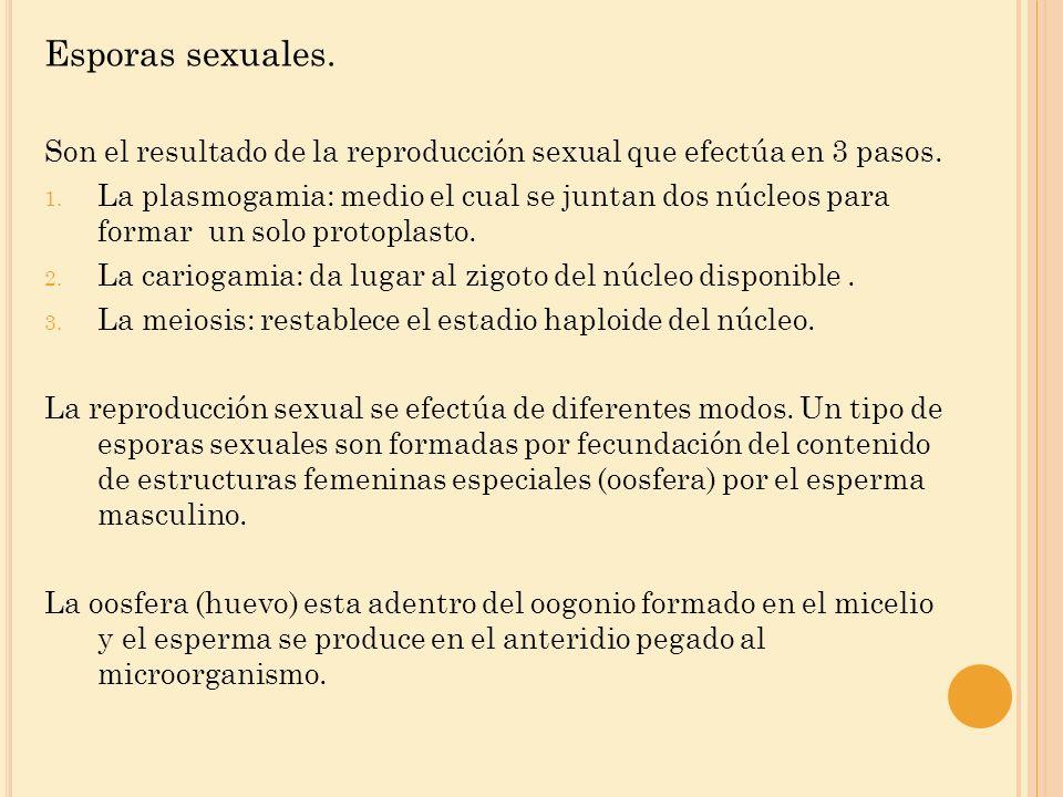 Esporas sexuales. Son el resultado de la reproducción sexual que efectúa en 3 pasos.