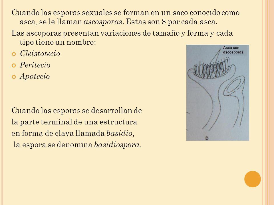 Cuando las esporas sexuales se forman en un saco conocido como asca, se le llaman ascosporas. Estas son 8 por cada asca.