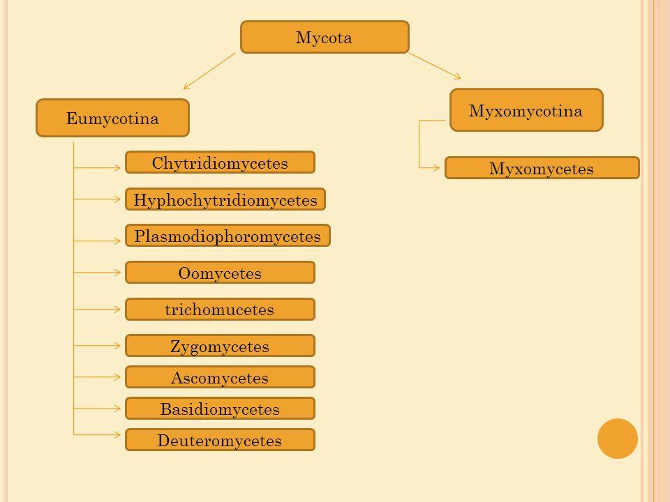 Plasmodiophoromycetes