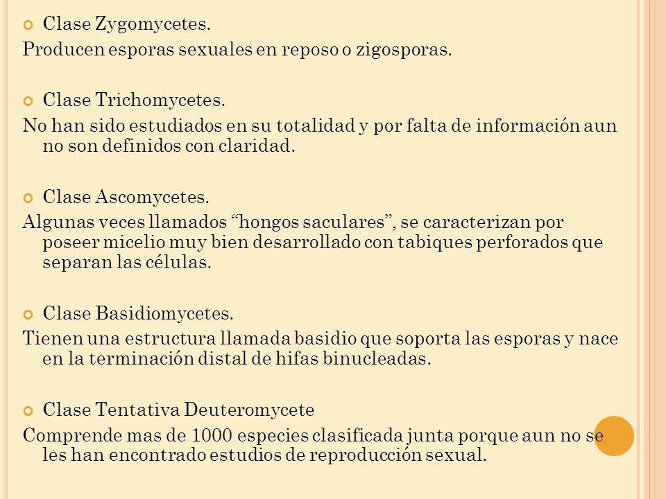 Clase Zygomycetes. Producen esporas sexuales en reposo o zigosporas. Clase Trichomycetes.