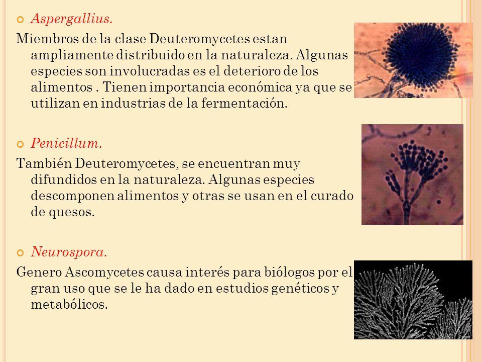 Aspergallius.