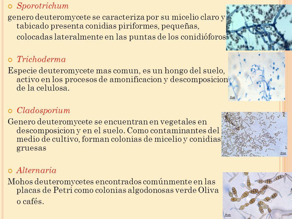 Sporotrichum genero deuteromycete se caracteriza por su micelio claro y tabicado presenta conidias piriformes, pequeñas,