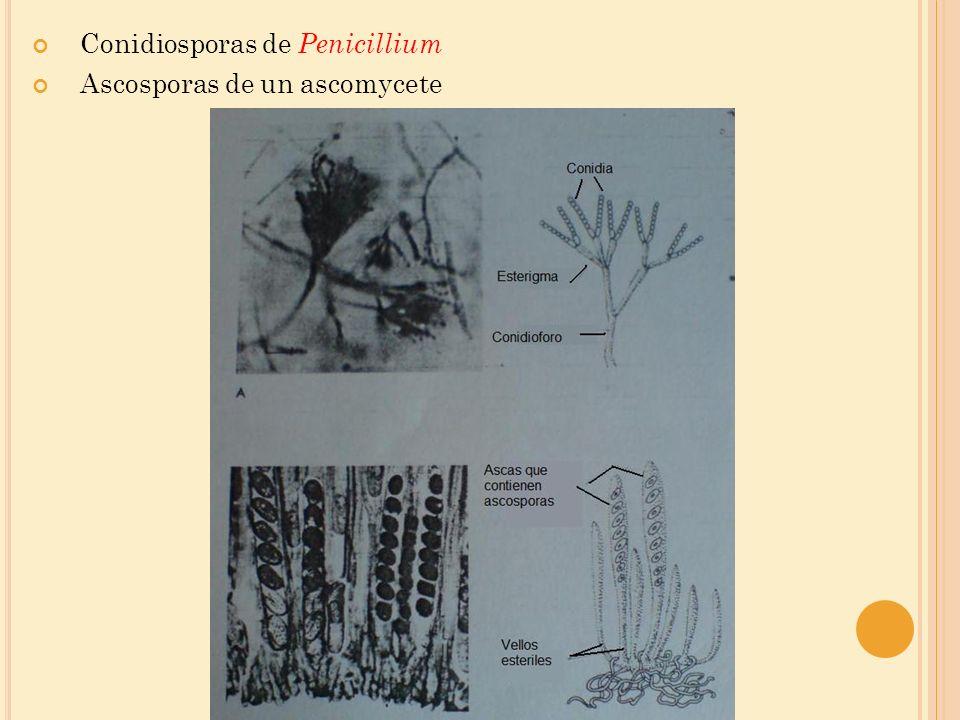 Conidiosporas de Penicillium
