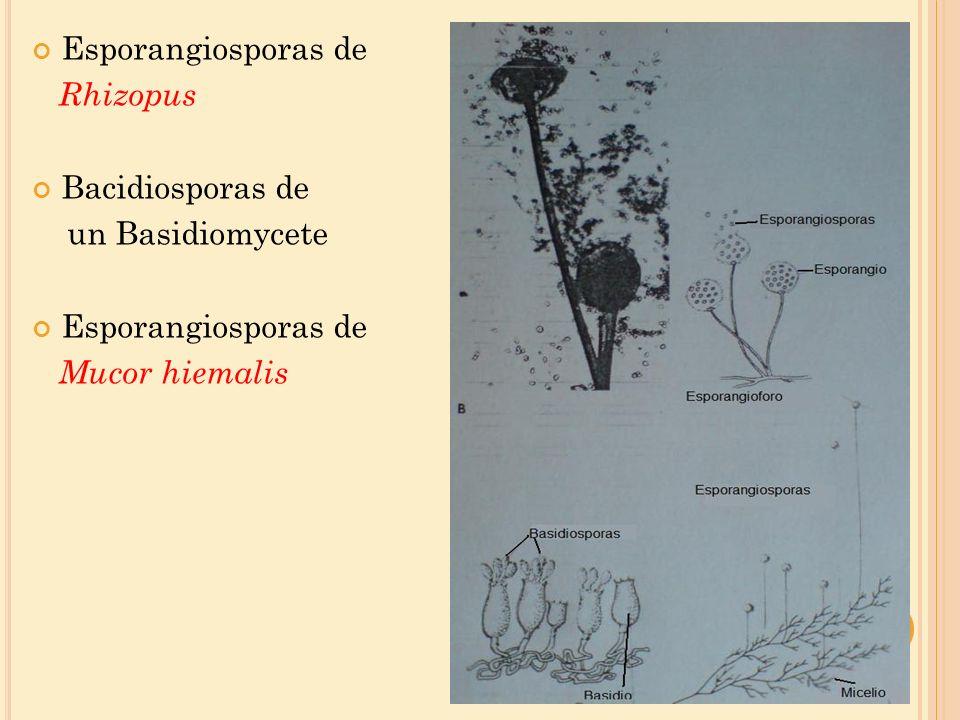 Esporangiosporas de Rhizopus Bacidiosporas de un Basidiomycete Mucor hiemalis
