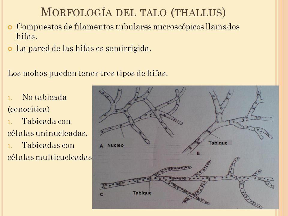 Morfología del talo (thallus)