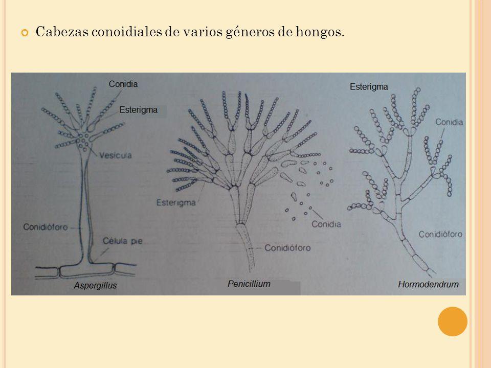 Cabezas conoidiales de varios géneros de hongos.