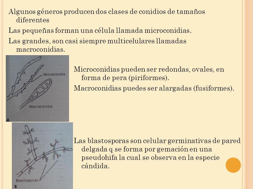 Algunos géneros producen dos clases de conidios de tamaños diferentes Las pequeñas forman una célula llamada microconidias. Las grandes, son casi siempre multicelulares llamadas macroconidias.