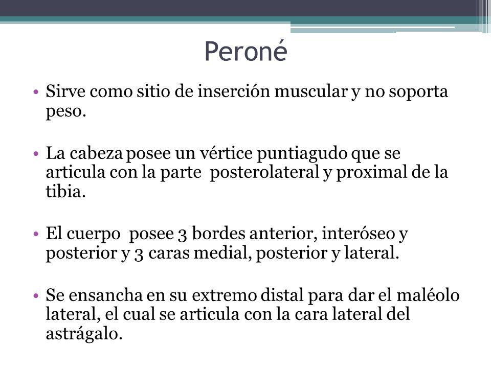 Peroné Sirve como sitio de inserción muscular y no soporta peso.