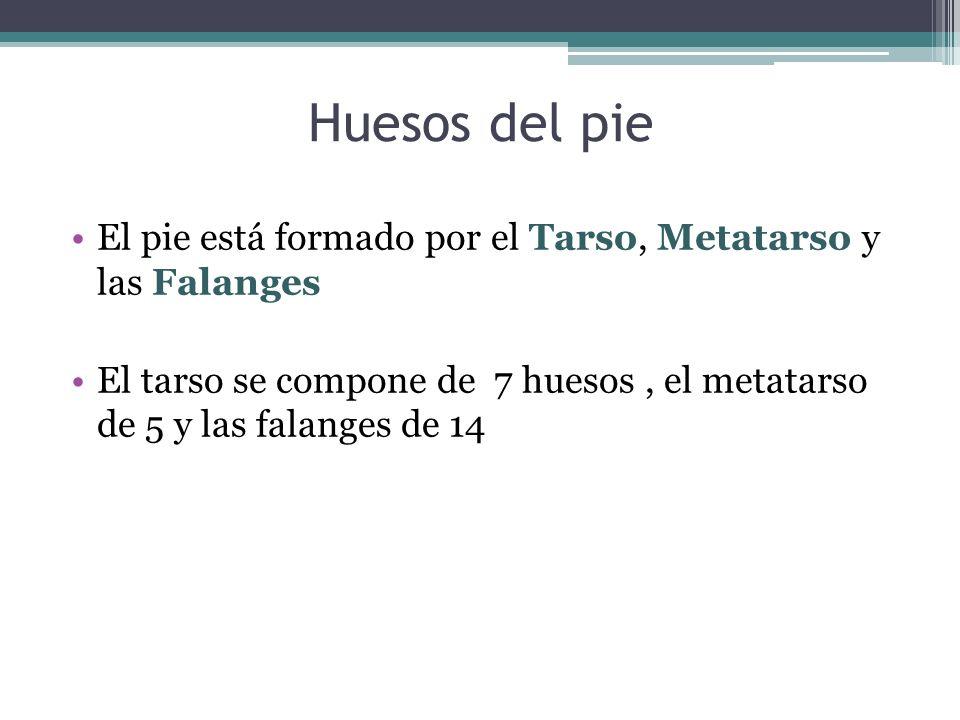 Huesos del pieEl pie está formado por el Tarso, Metatarso y las Falanges.