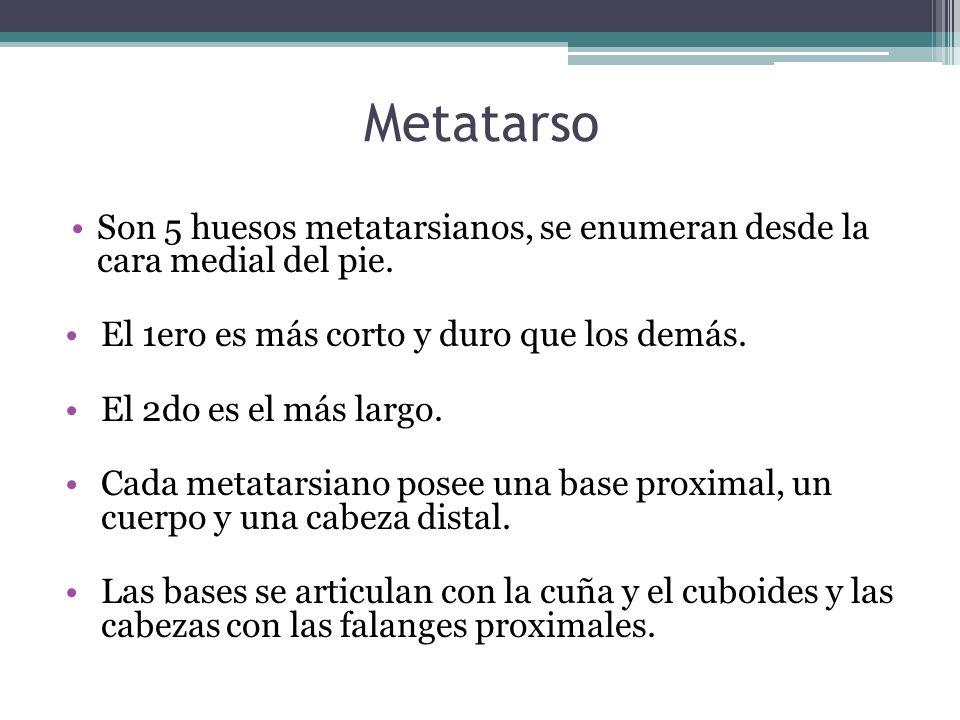 Metatarso Son 5 huesos metatarsianos, se enumeran desde la cara medial del pie. El 1ero es más corto y duro que los demás.