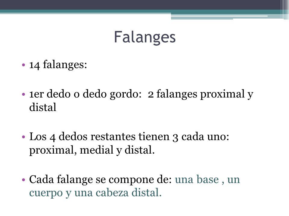 Falanges14 falanges: 1er dedo o dedo gordo: 2 falanges proximal y distal. Los 4 dedos restantes tienen 3 cada uno: proximal, medial y distal.