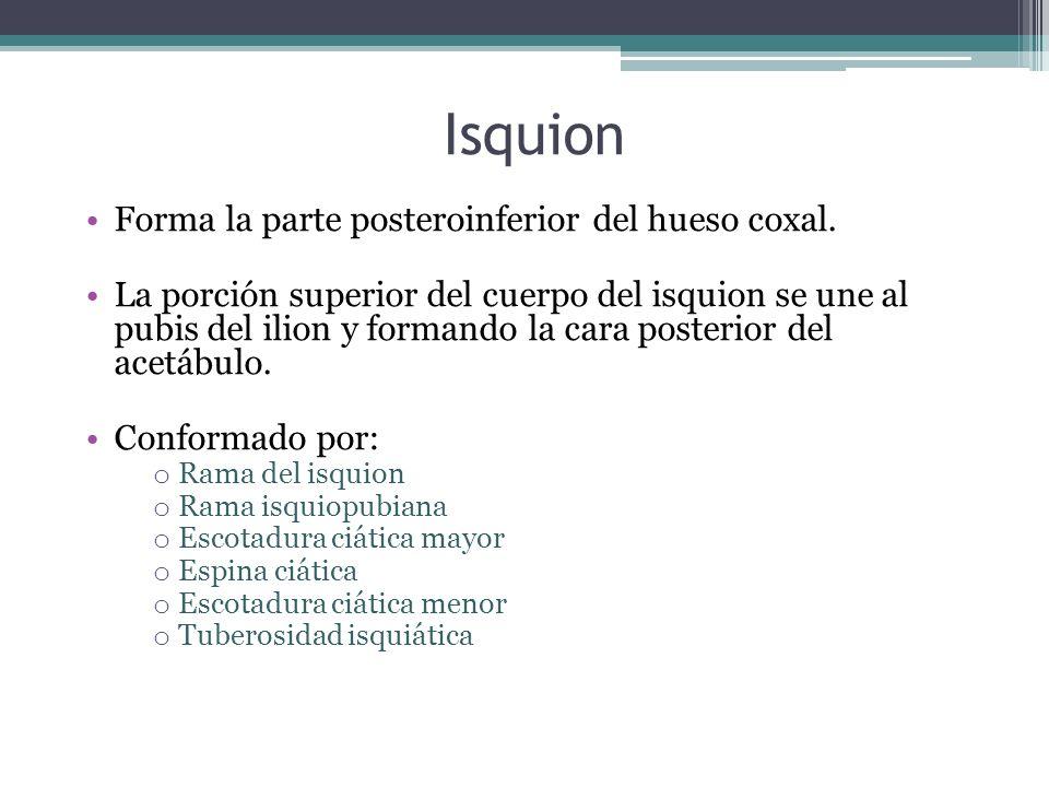 Isquion Forma la parte posteroinferior del hueso coxal.