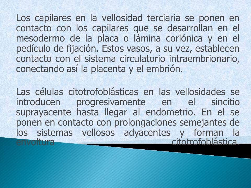 Los capilares en la vellosidad terciaria se ponen en contacto con los capilares que se desarrollan en el mesodermo de la placa o lámina coriónica y en el pedículo de fijación. Estos vasos, a su vez, establecen contacto con el sistema circulatorio intraembrionario, conectando así la placenta y el embrión.