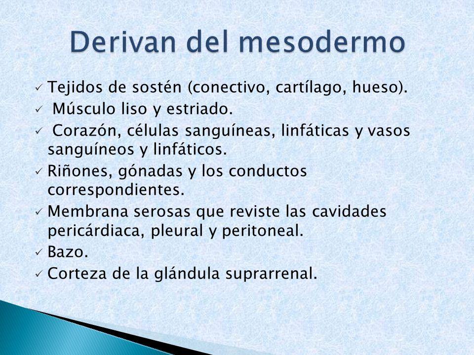 Derivan del mesodermo Tejidos de sostén (conectivo, cartílago, hueso).