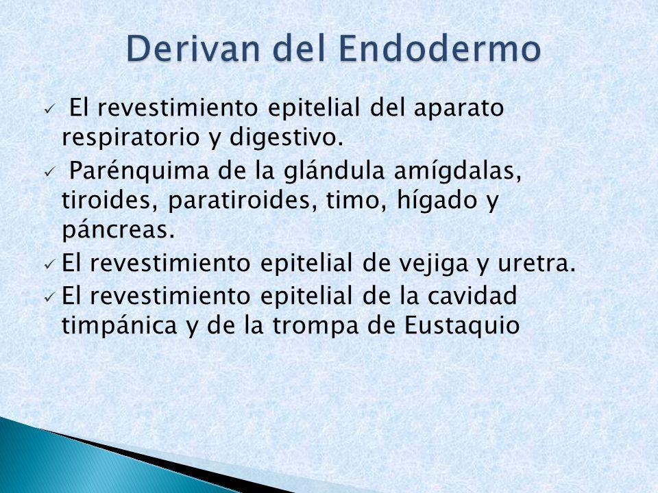 Derivan del Endodermo El revestimiento epitelial del aparato respiratorio y digestivo.
