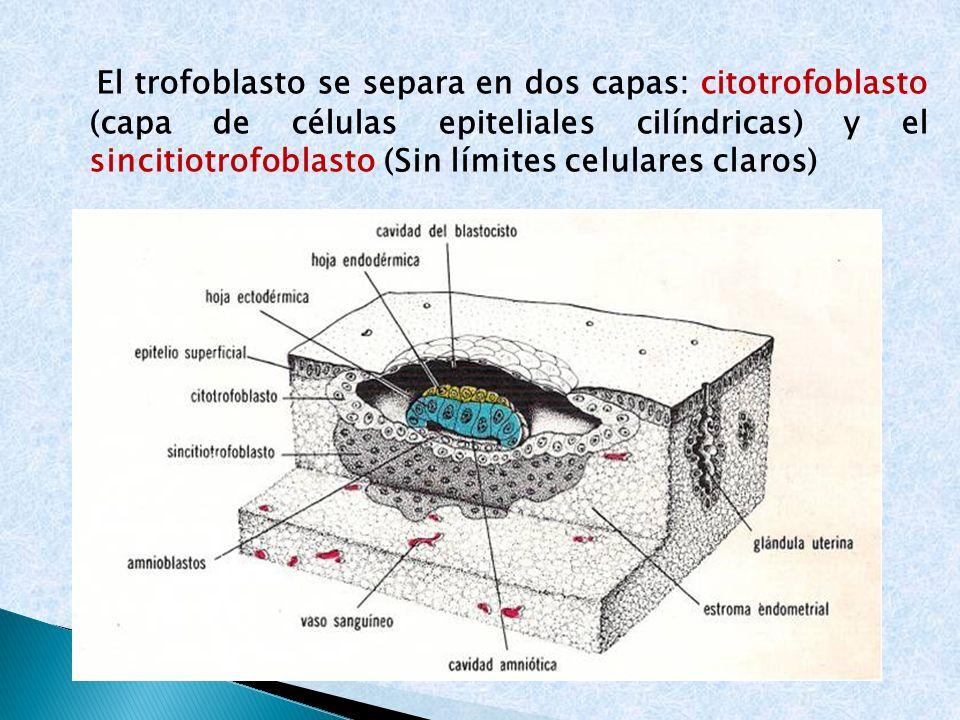 El trofoblasto se separa en dos capas: citotrofoblasto (capa de células epiteliales cilíndricas) y el sincitiotrofoblasto (Sin límites celulares claros)