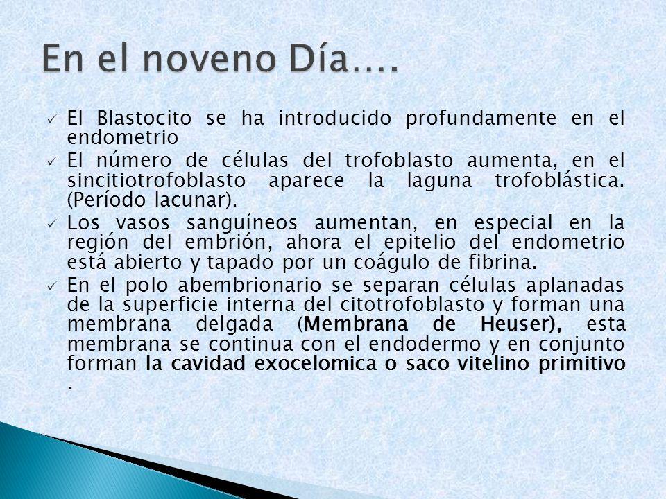 En el noveno Día…. El Blastocito se ha introducido profundamente en el endometrio.