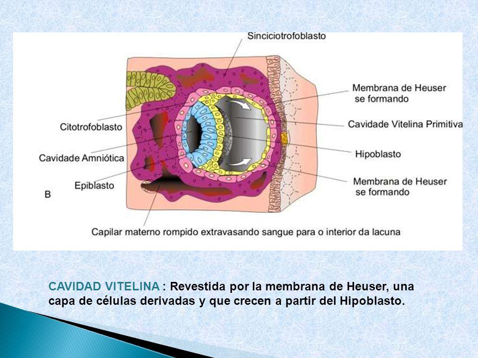 CAVIDAD VITELINA : Revestida por la membrana de Heuser, una