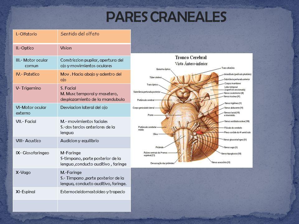 PARES CRANEALES I.-Olfatorio Sentido del olfato II.-Optico Vision