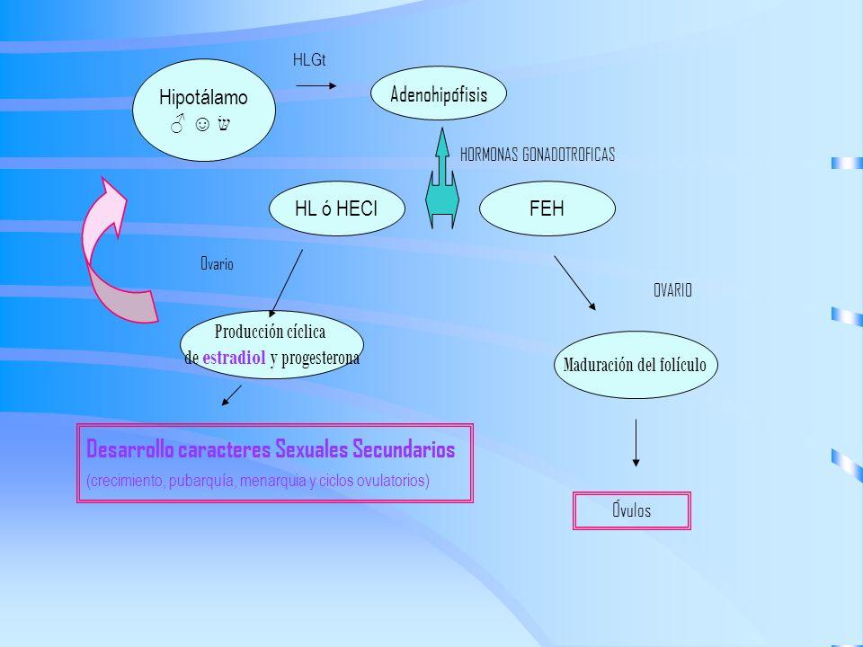 HLGtHipotálamo. ♂ ☺ שּׂ. Adenohipófisis. HORMONAS GONADOTROFICAS. HL ó HECI. FEH. Ovario. OVARIO. Producción cíclica.