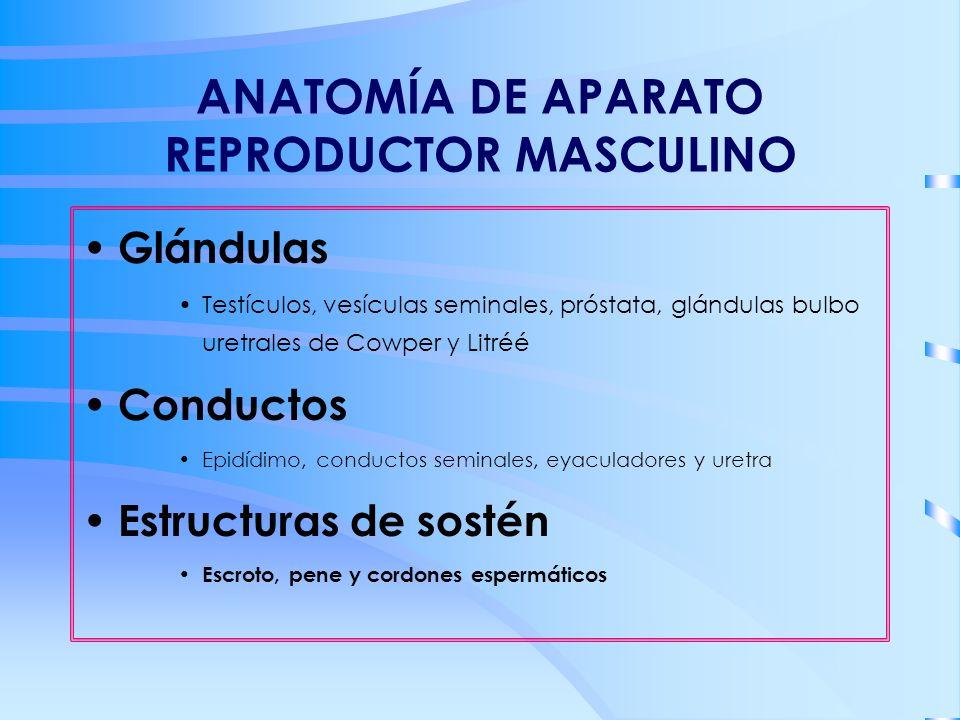 ANATOMÍA DE APARATO REPRODUCTOR MASCULINO