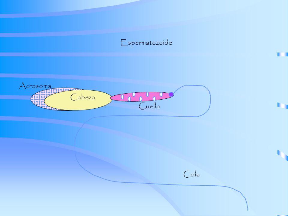 Espermatozoide Acrosoma Cabeza Cuello Cola