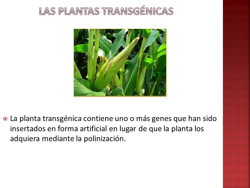 Las Plantas Transgénicas